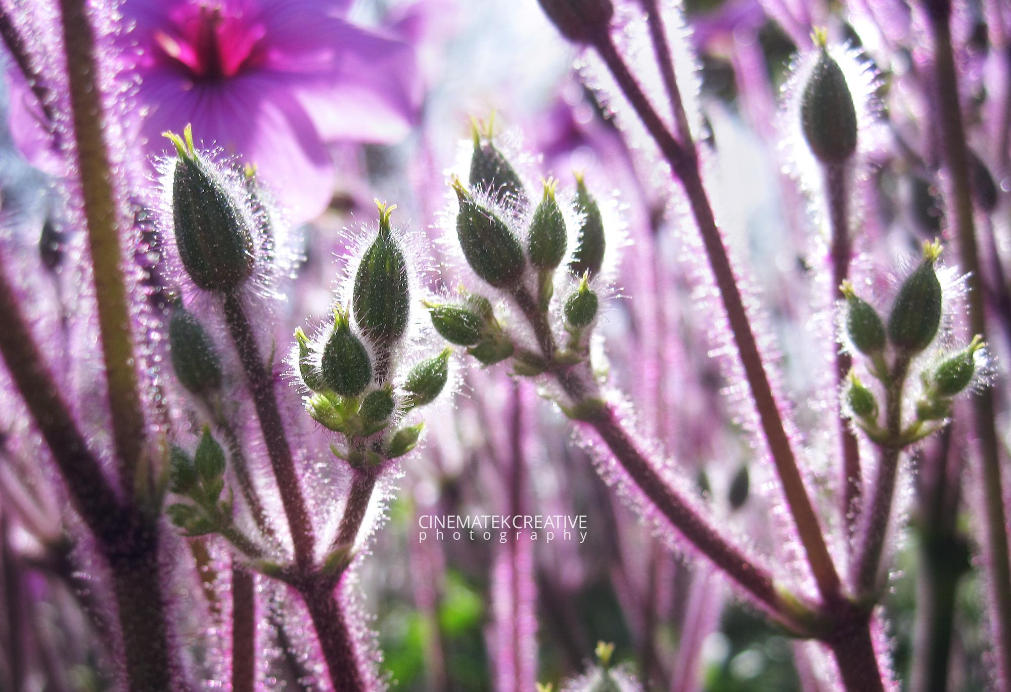 Purple Stems
